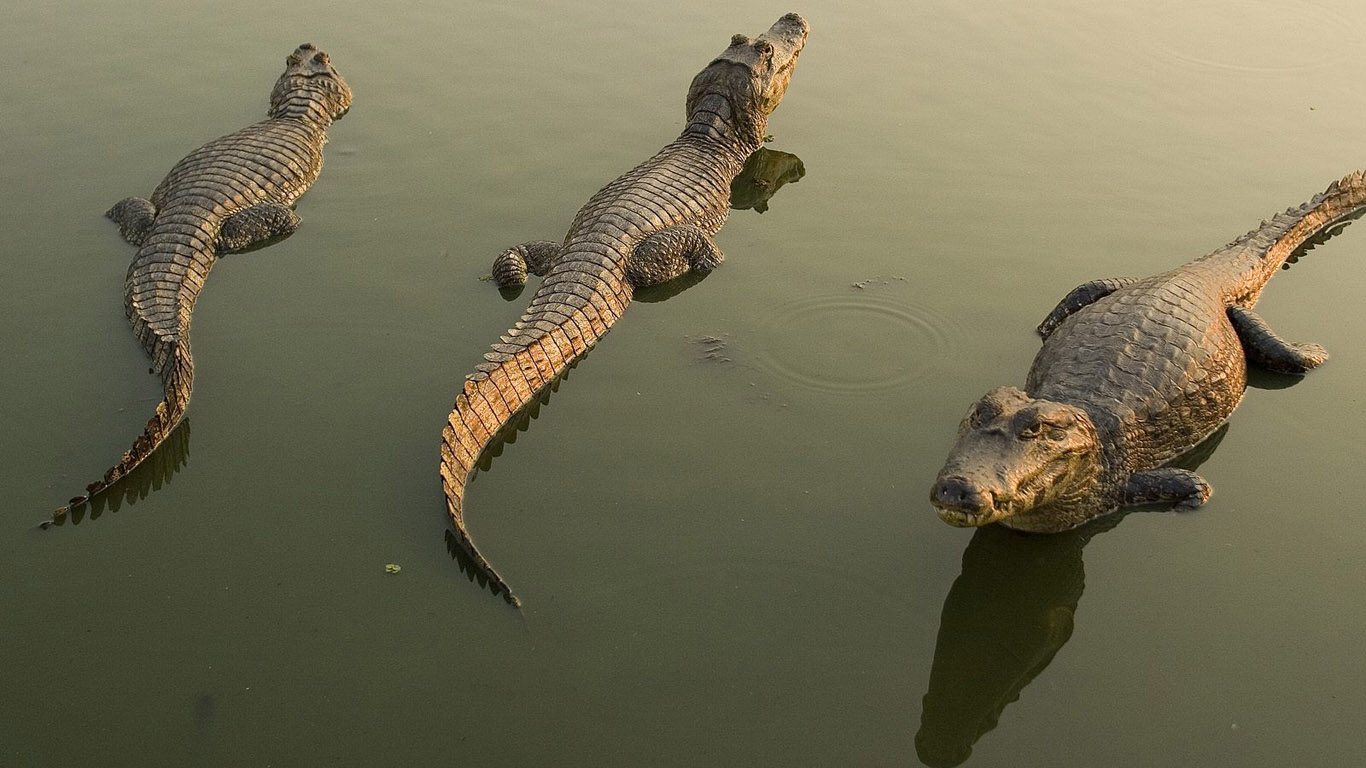 http://www.1366x768.ru/animal/106/crocodile-wallpaper-1366x768.jpg