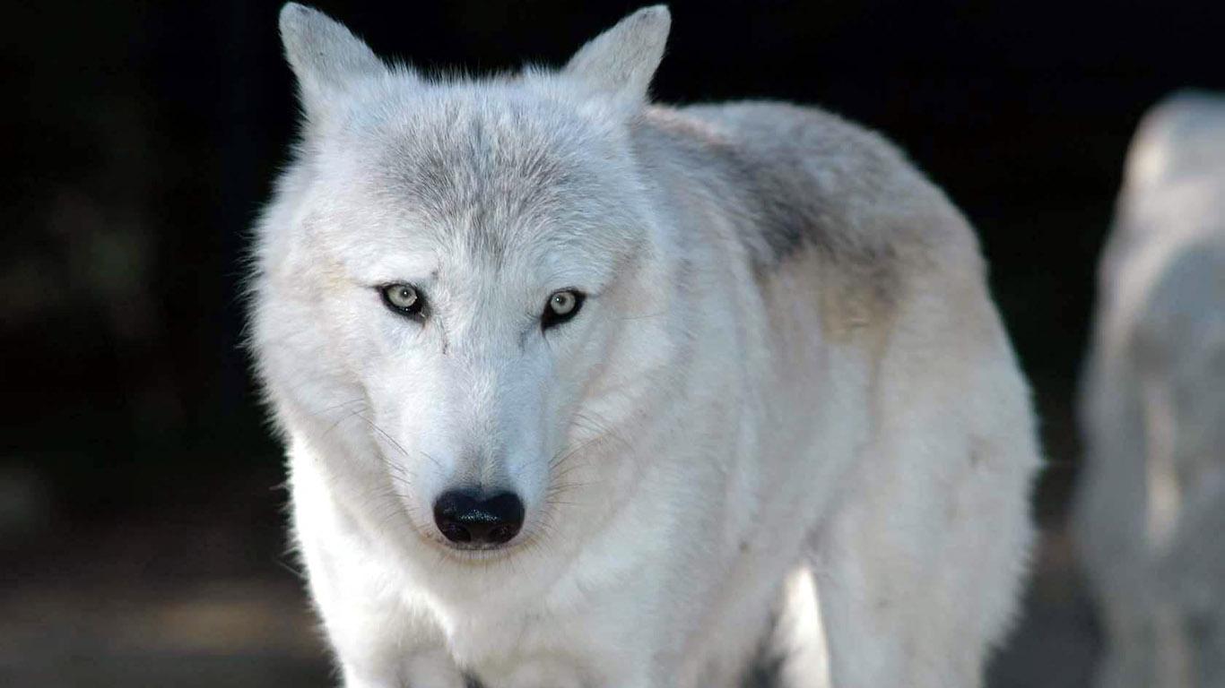 beautiful blue white wolf - photo #14