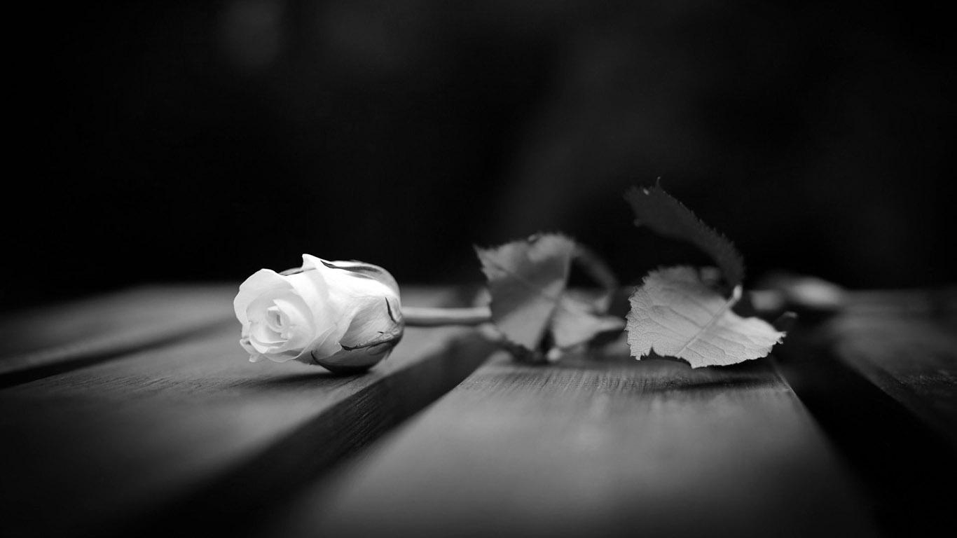 Фото черная и белая роза