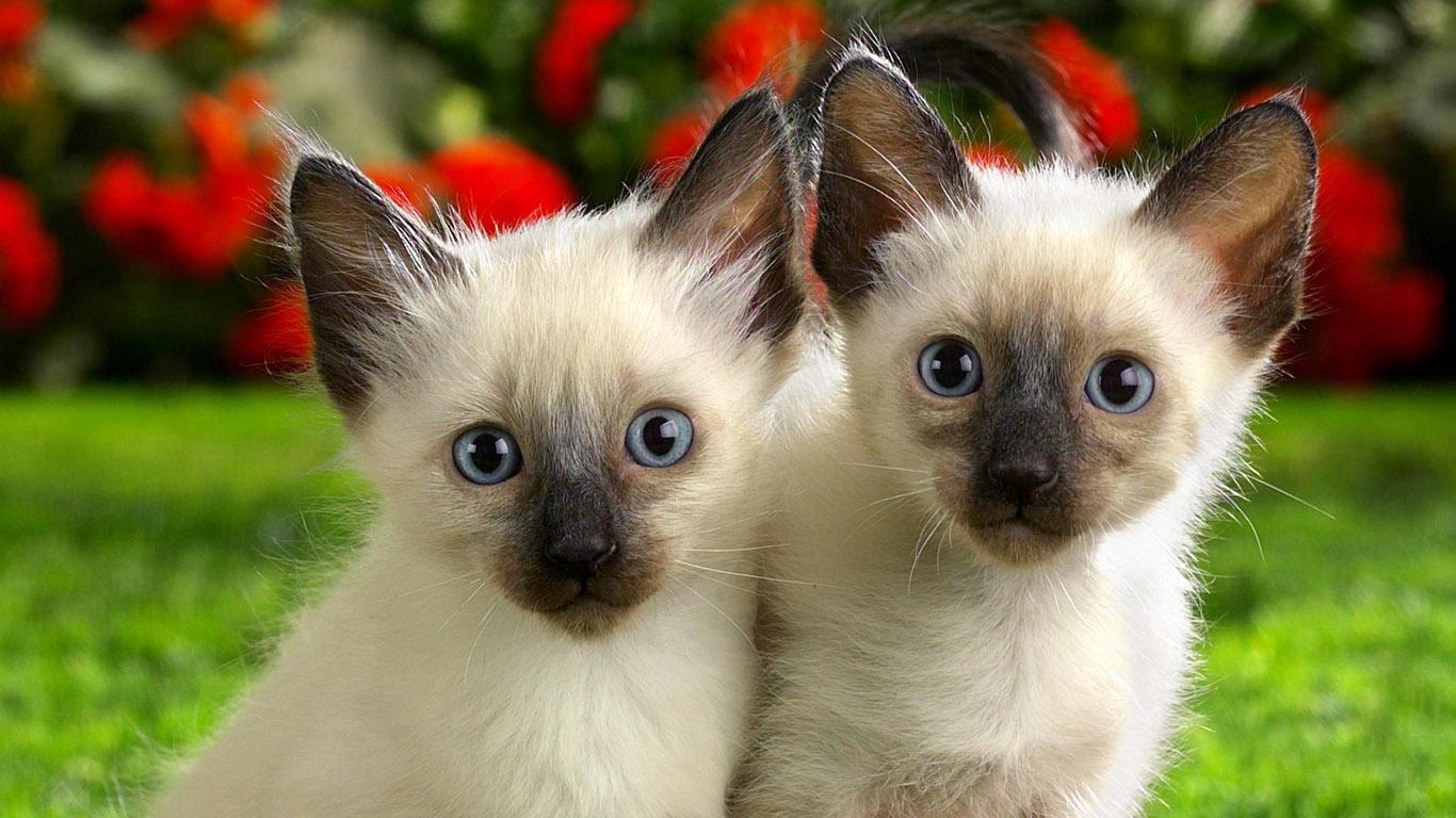картинки кошки и котята на рабочий стол