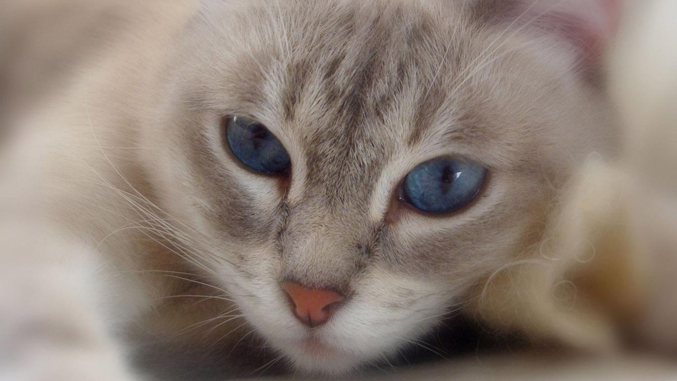 Картинки кошки с синими глазами