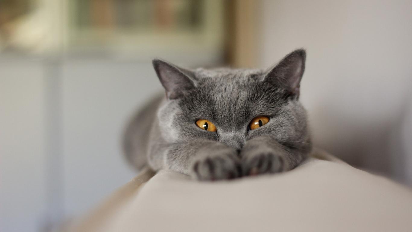 http://www.1366x768.ru/cat/82/82-seryj-kot-oboi-koshki-1366x768.jpg