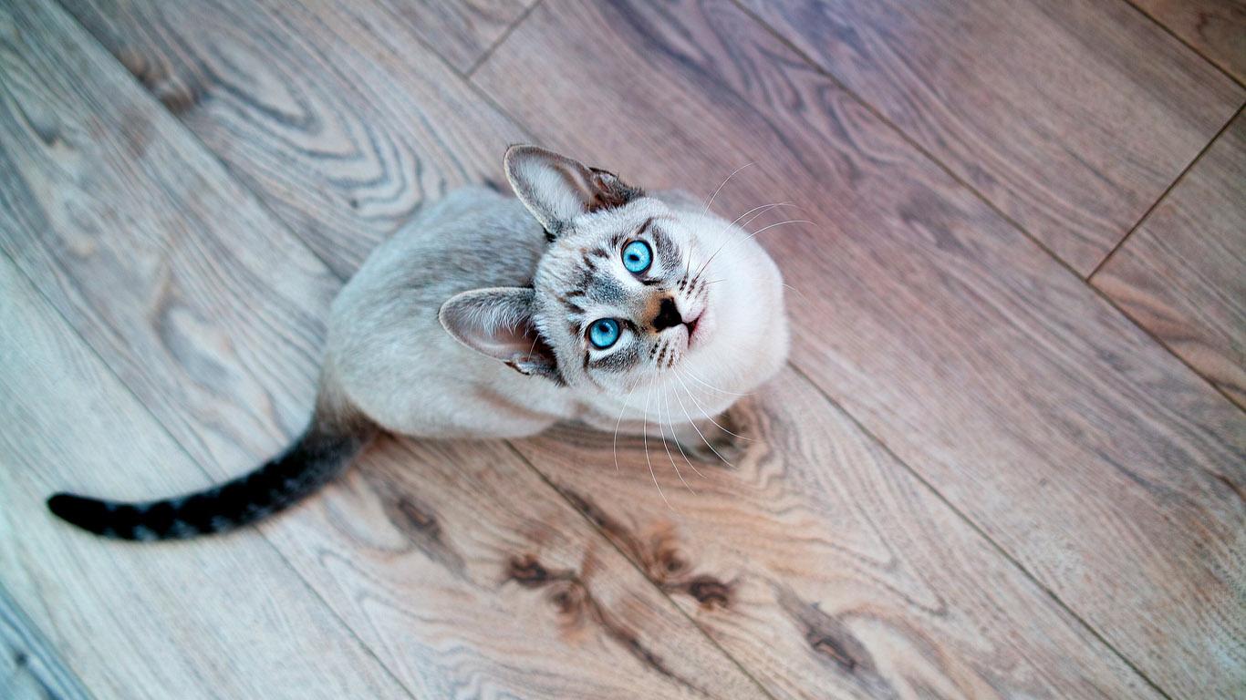 Скачать кота на компьютер бесплатно без регистрации