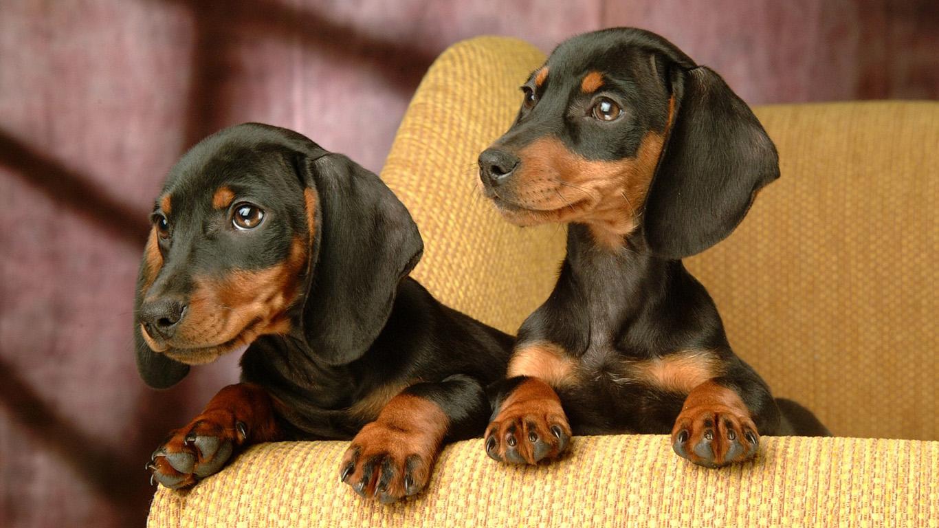 Обои собаки 1366х768 для рабочего стола