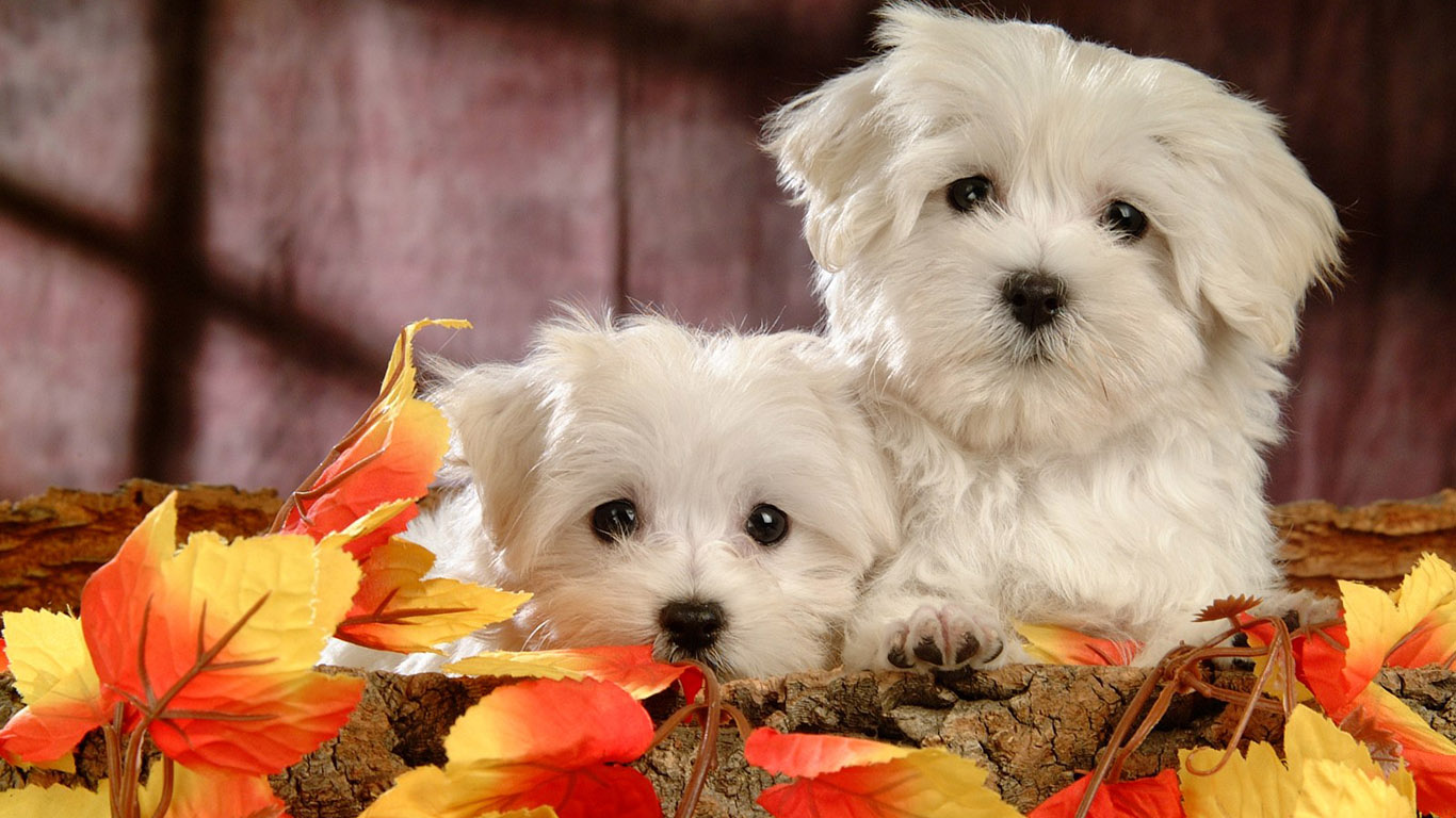 http://www.1366x768.ru/dog/17/Bichon-French-wallpaper-1366x768.jpg