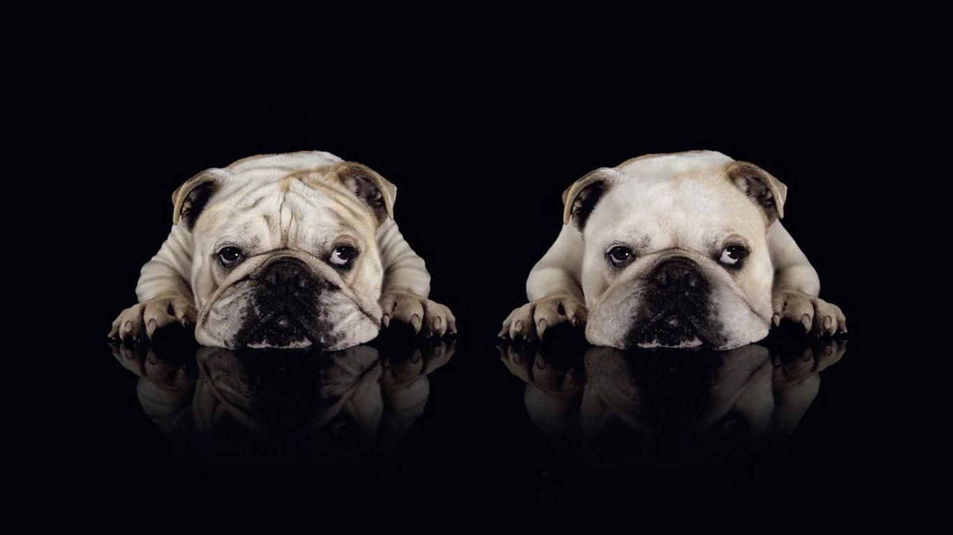 Собаки щенки 1366х768 на рабочий стол