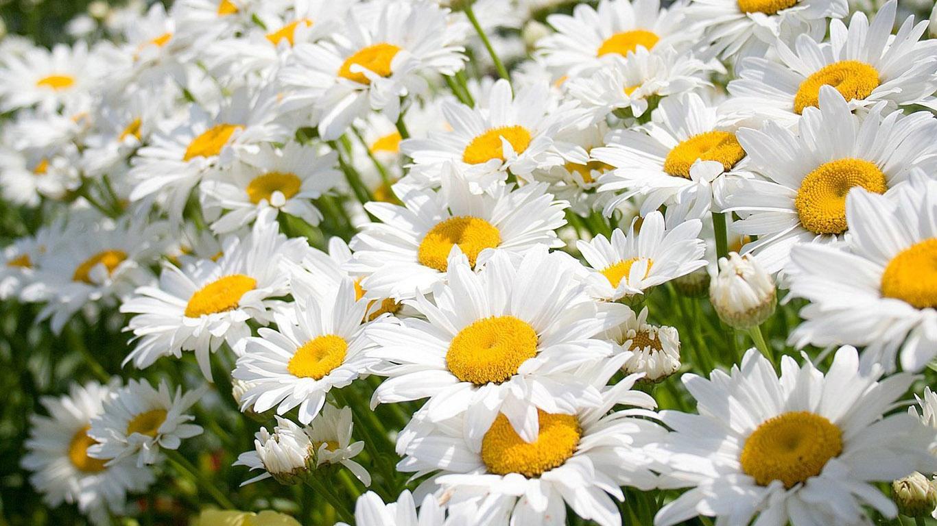 Цветы обои 1366х768 на рабочий стол