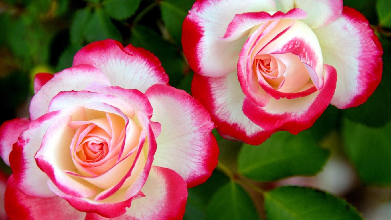 красивые картинки на рабочий стол цветы