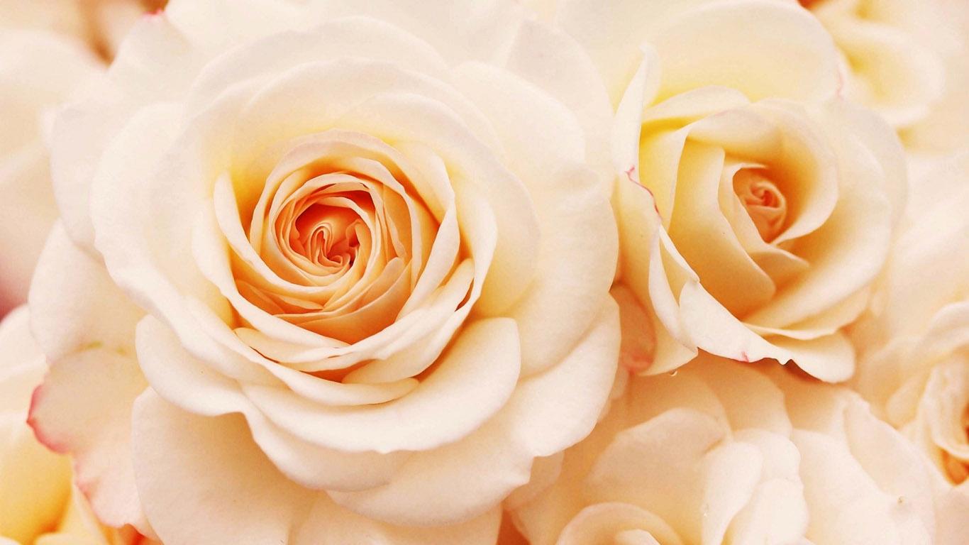 Cream roses background the image kid for Cream rose wallpaper
