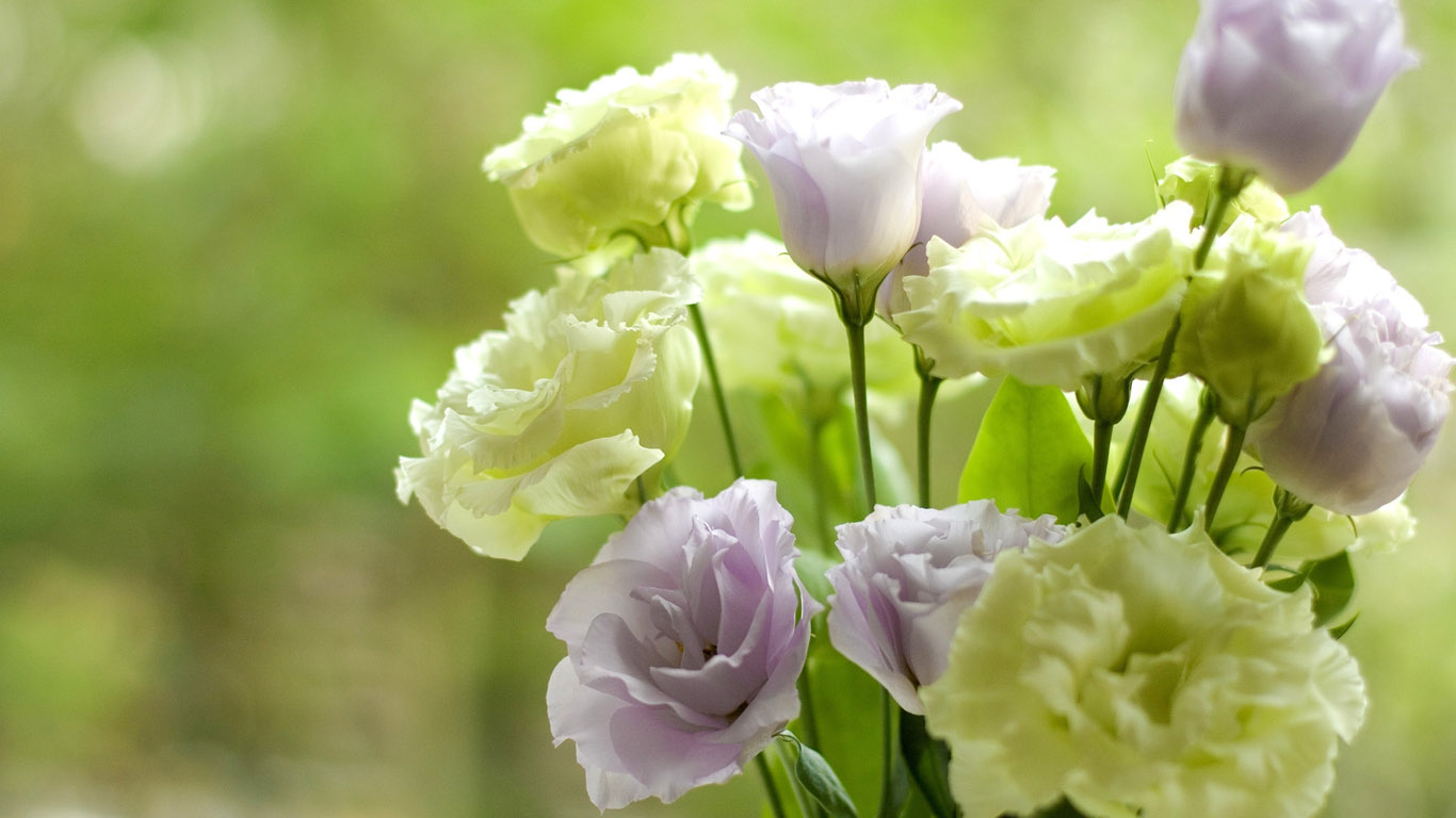 http://www.1366x768.ru/flower/166/Eustoma-wallpaper-1366x768.jpg