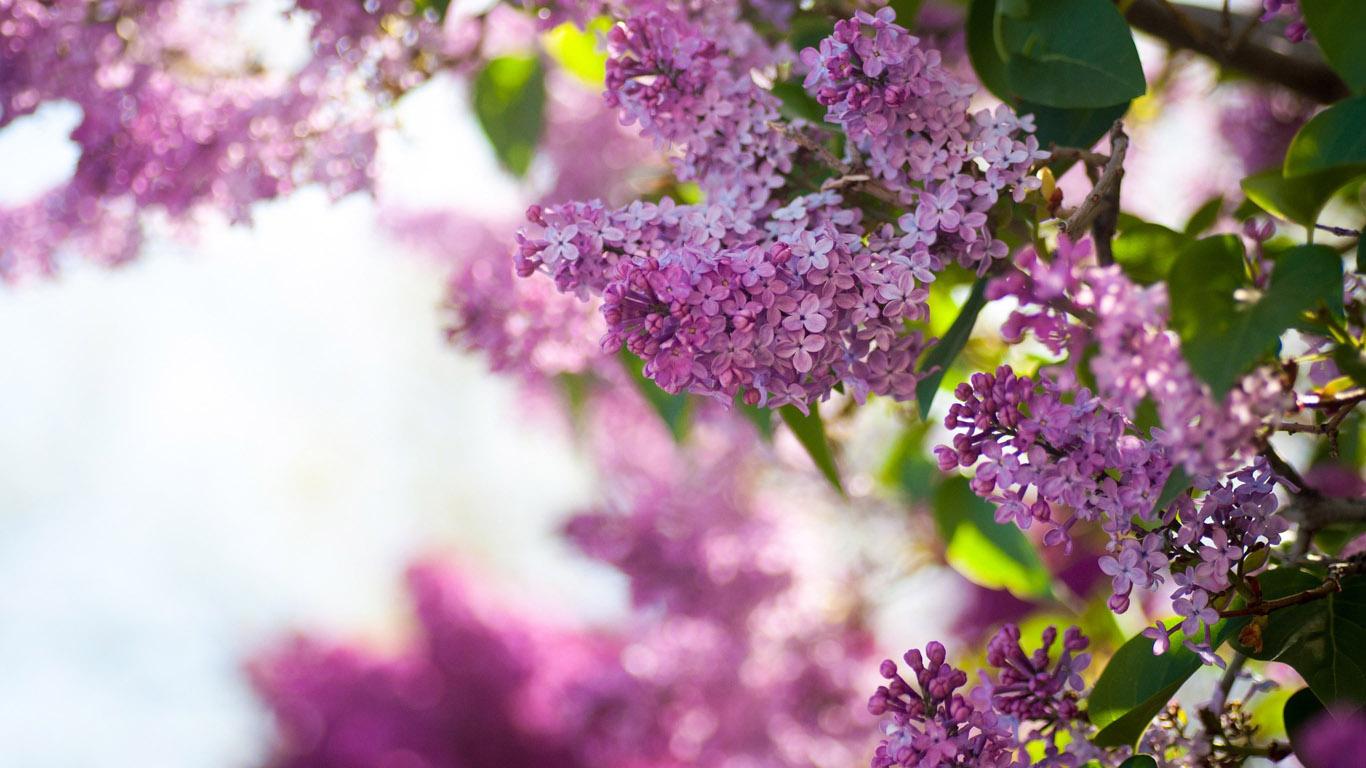 Цветы - обои 1366х768 на рабочий стол: www.1366x768.ru/flower-21.php