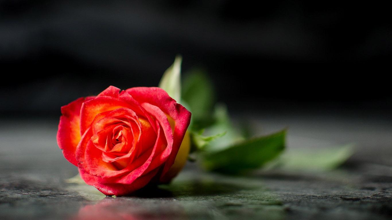 http://www.1366x768.ru/flower/187/187-odna-roza-oboi-cvety-1366x768.jpg