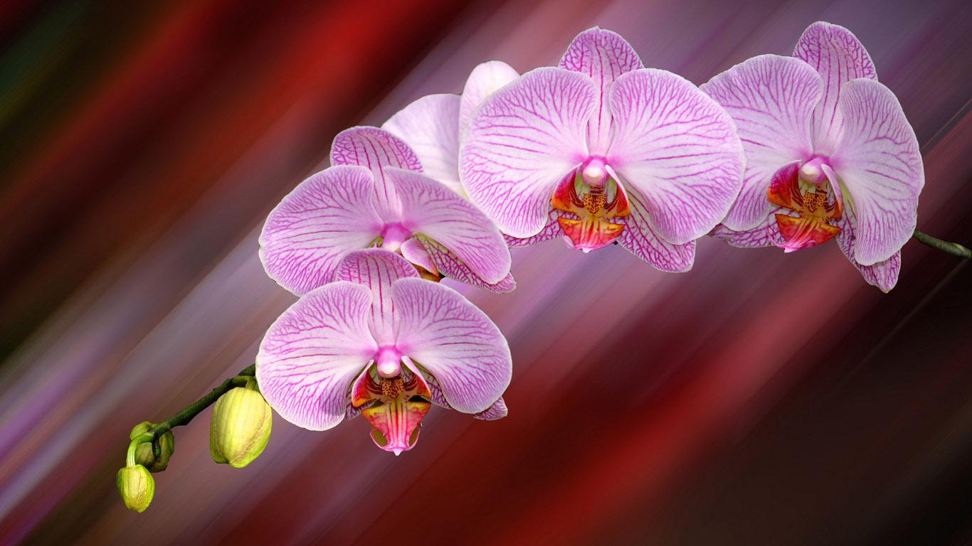 Заставки на рабочий стол цветы орхидеи