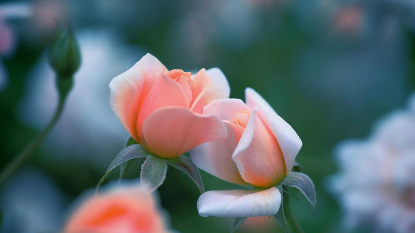 http://www.1366x768.ru/flower/220/220-dve-rozovye-rozy-oboi-cvety-1366x768.jpg