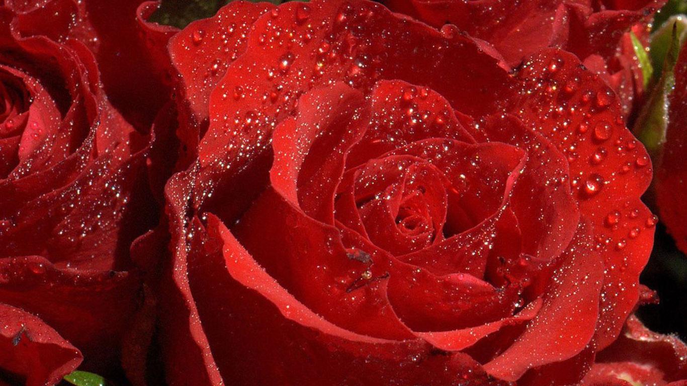 Красные розы фото высокого разрешения