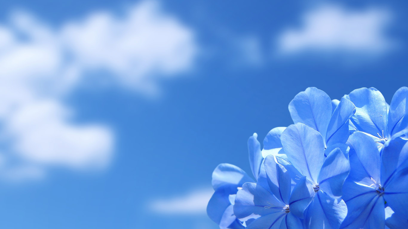 http://www.1366x768.ru/flower/90/blue-flowers-wallpaper-1366x768.jpg